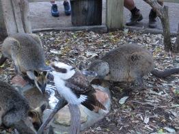 Kookaburra en kangoeroes!